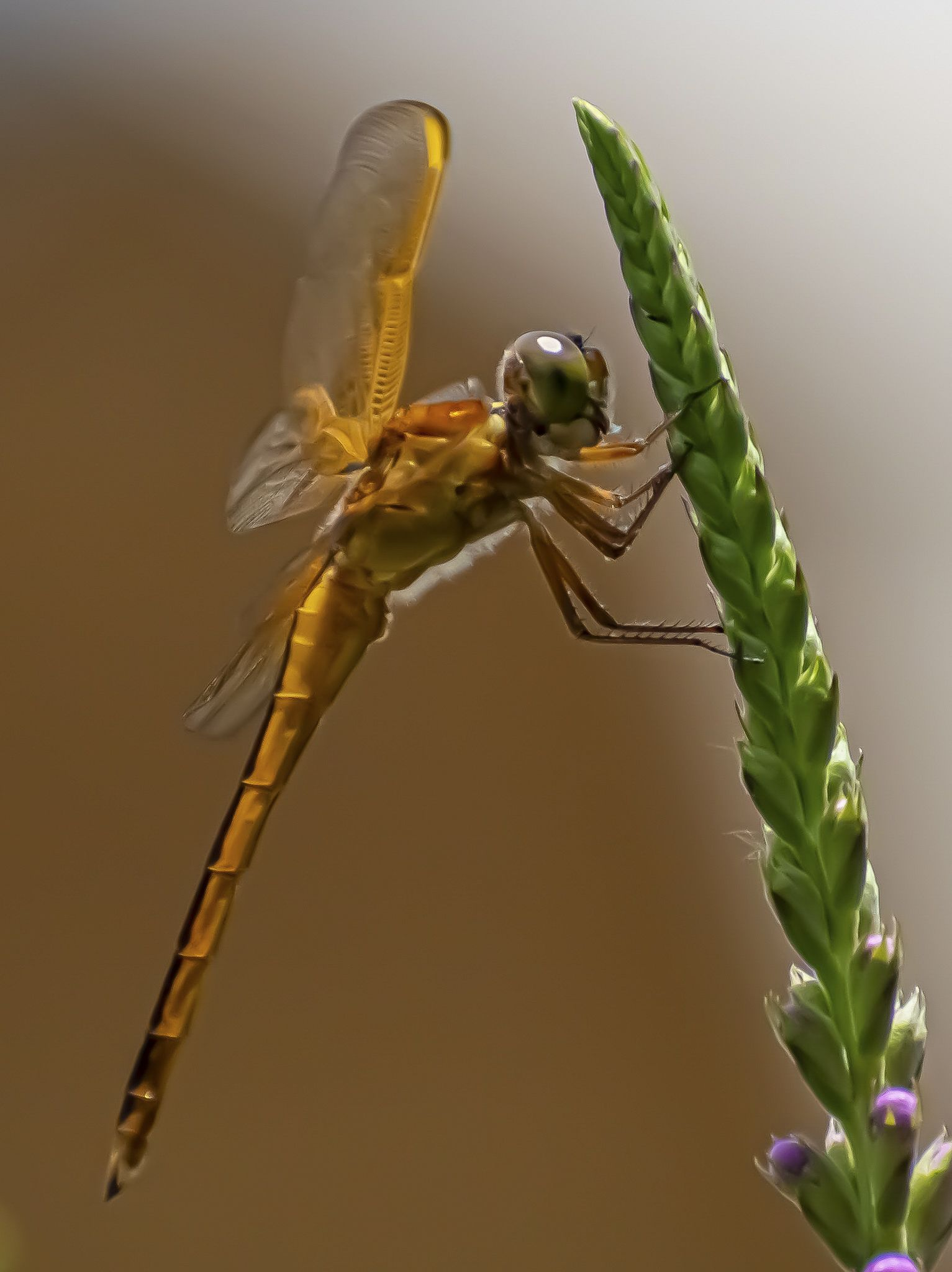 A tan needham skimmer clings to a flower.