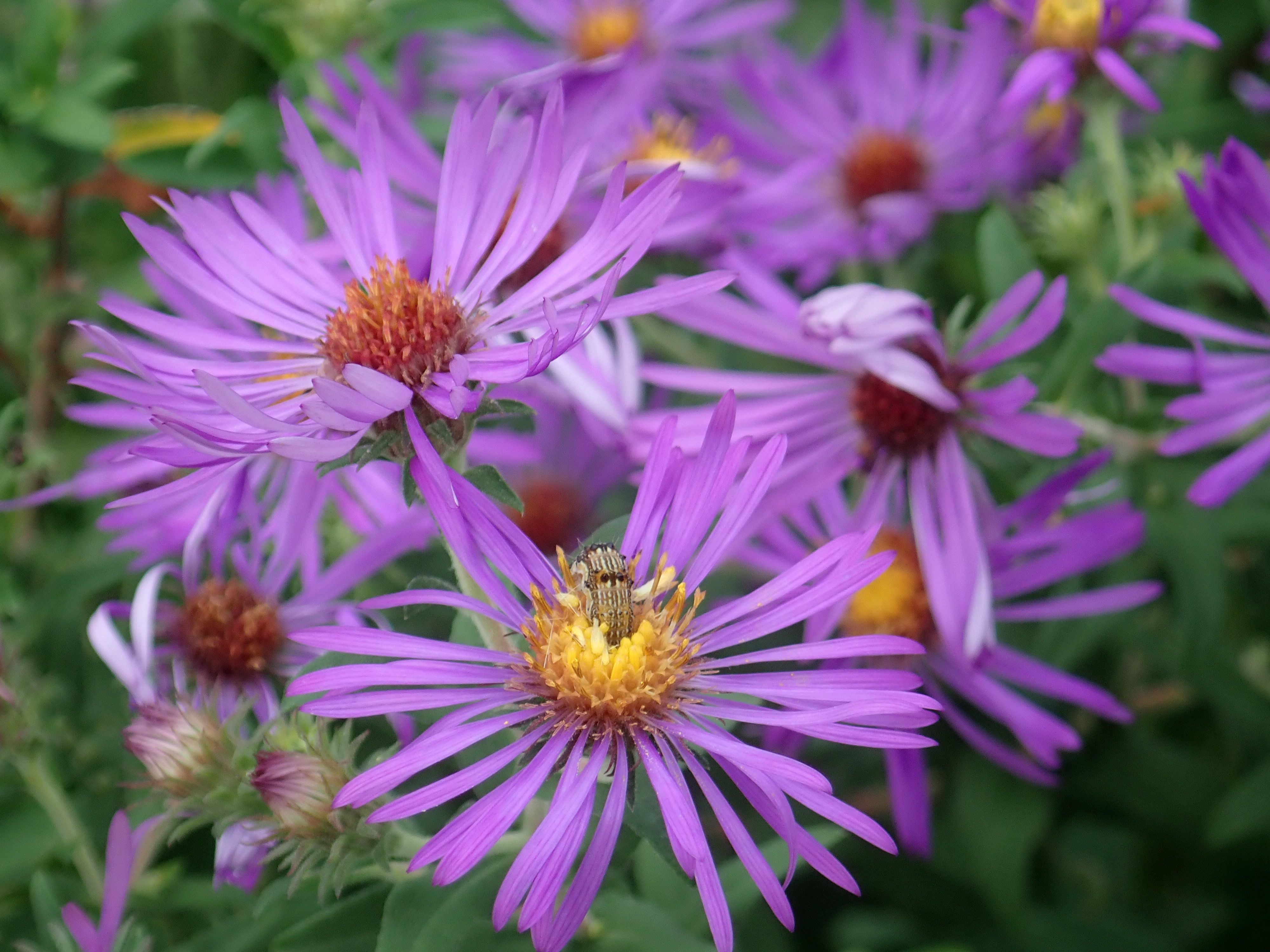 Bright purple New England Aster flowers are surrounded by green leaves.
