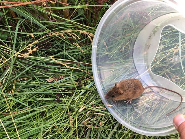 Endangered New Mexico jumping mouse discovered during a wildlife inventory at Fisher's Peak.