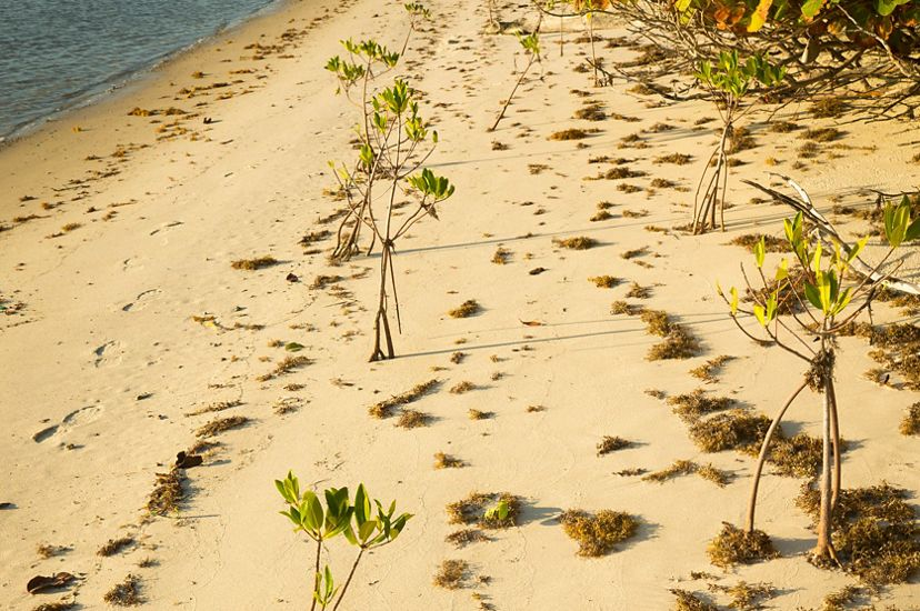 Two rows of newly planted young mangroves line the shore of a lagoon at a Florida nature preserve.