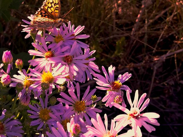 Butterfly on roadside flowers in Grand Teton National Park, Wyoming.