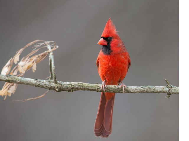 Red bird with black face markings perched on a small limb.