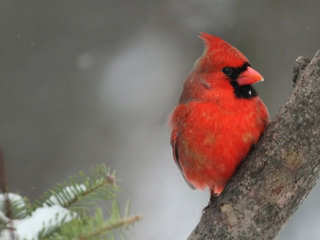 A red male cardinal sitting on a branch.