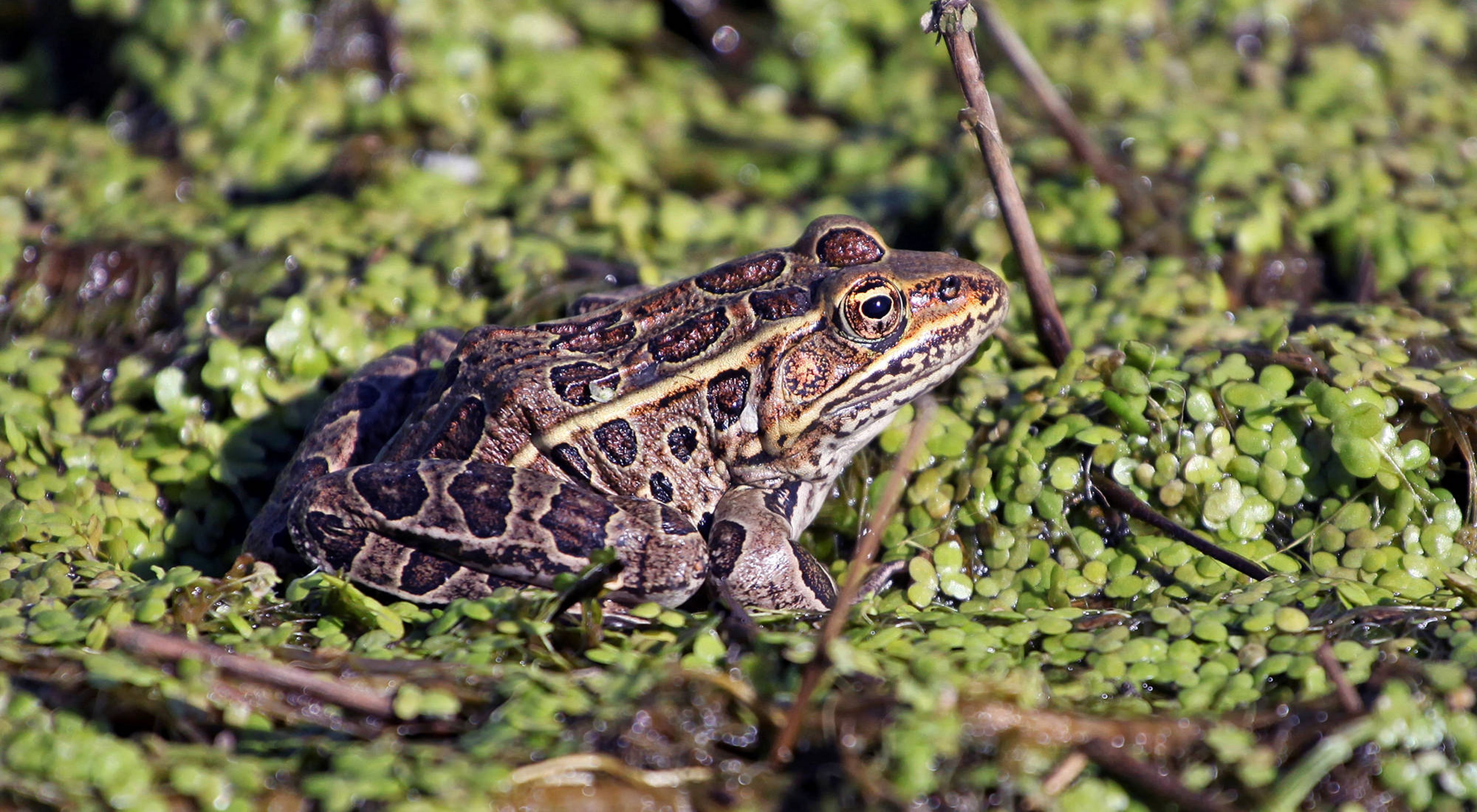 Brown frog with black spots sitting in a wetland with lush green plants.