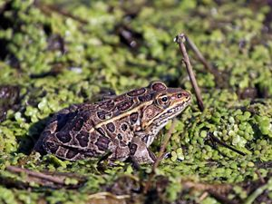 Brown frog with black spots sitting in wetland among green plants.