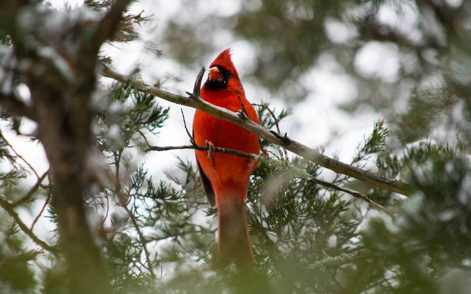 A red cardinal viewed from below through tree branches.