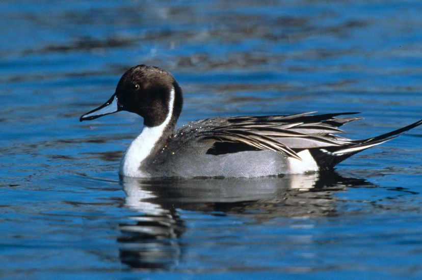 A grey and black duck with blue bill and long tail, floats on bright blue water.