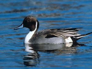 A blue and black duck with blue bill and long tail, floats on bright blue water.