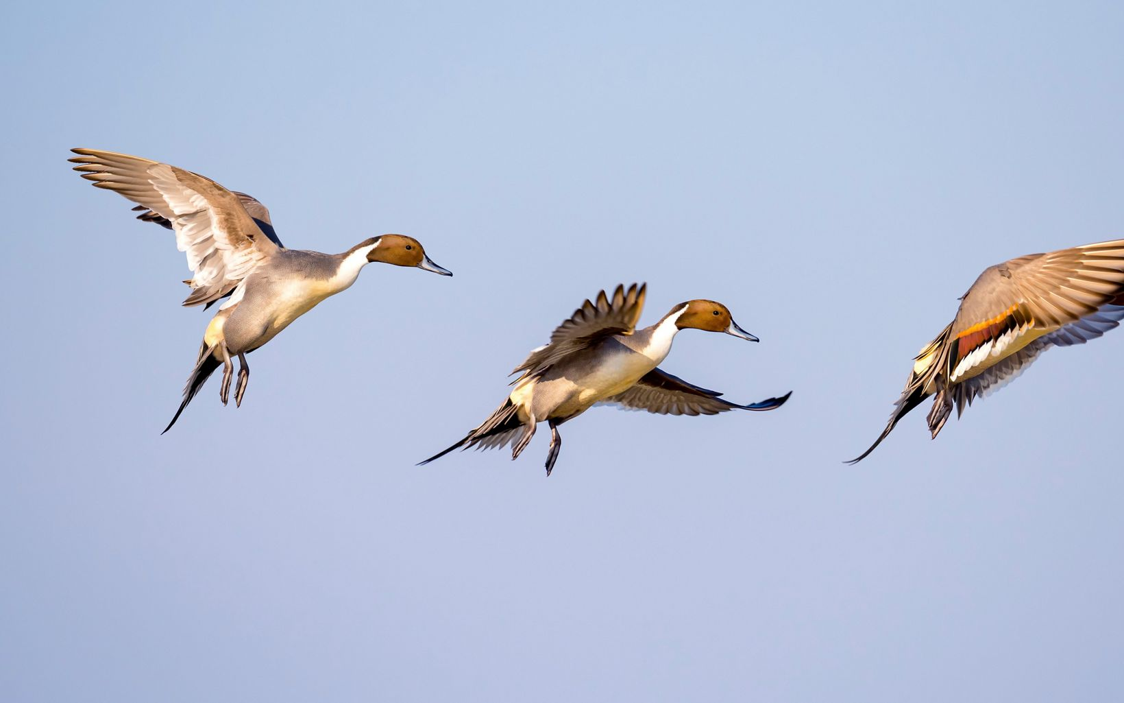 Three northern pintails are flying.