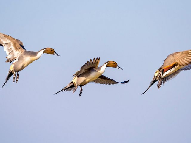 Three northern pintails are flying against a clear, blue sky.