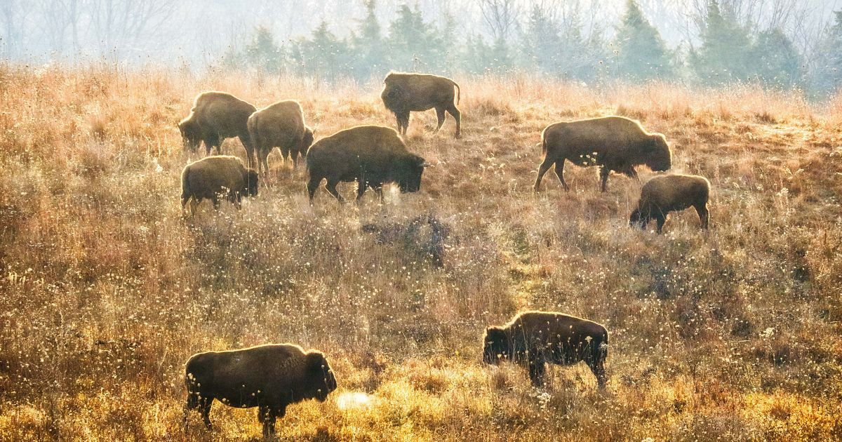 Bison herd grazing on a hill in the prairie at Nachusa Grasslands