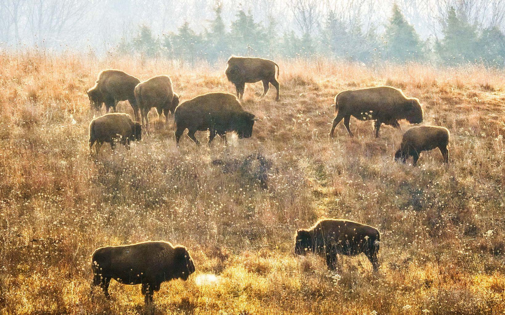 Bison Return to Nachusa