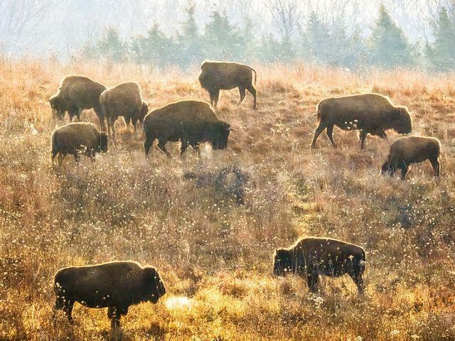 Bison herd grazing on a hill in the prairie at Nachusa Grasslands