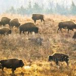 Small group of bison eating the fall season grasses at the Nachusa Grasslands Preserve in Illinois.