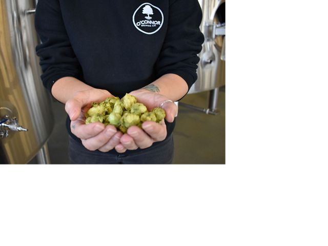 Hops are a main ingredient in beer.