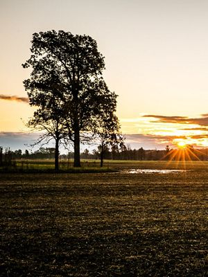 The sun rises over a field and trees.