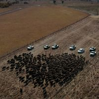 Aerial view of bison being herded into corrals.
