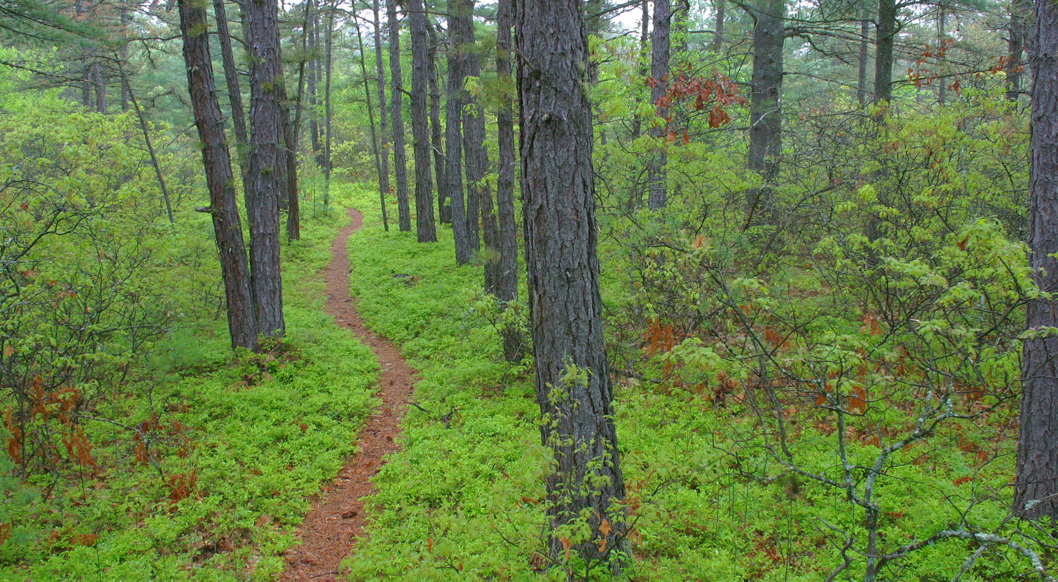 A trail winds through the Ossipee Pine Barrens, a globally rare, fire-dependent forest type.
