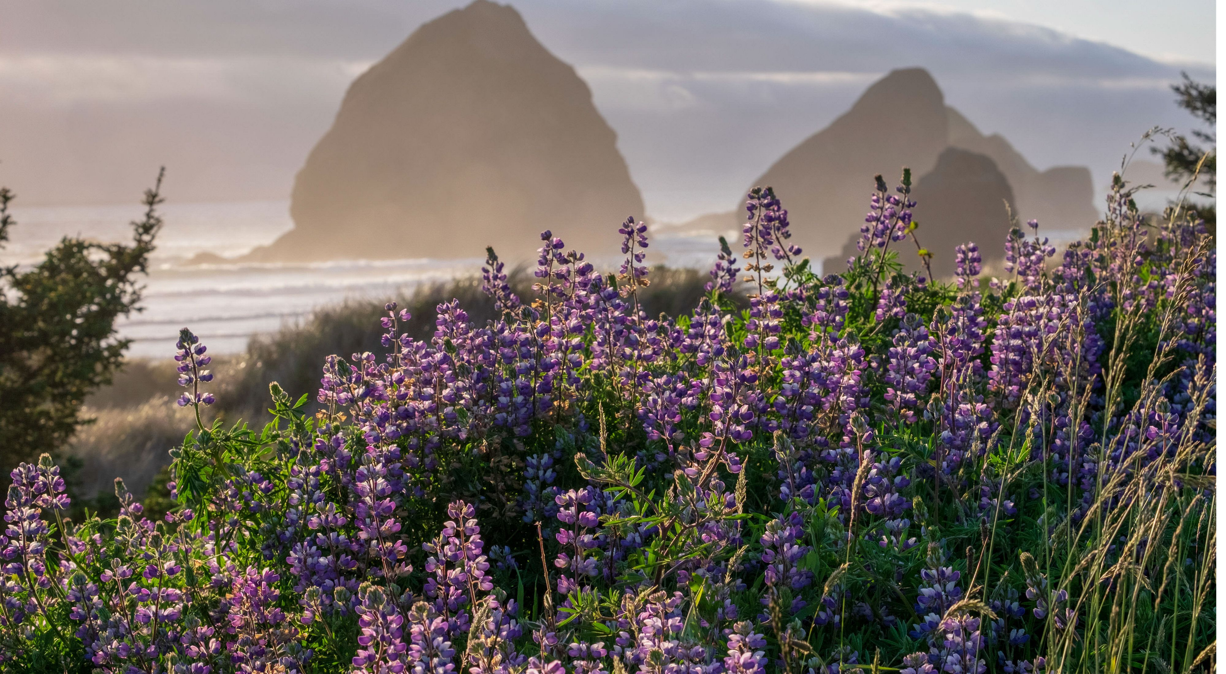 The lupines were in full bloom along the Pacific Highway. The sun was about to set behind that pesky marine layer, but just for an instant, the light on the flowers, the sea stacks and the fog rolling combined for a magical image.