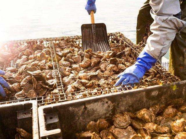 Bay Point Oyster Company recolectando ostras en un barco en Little Bay en Durham, New Hampshire.