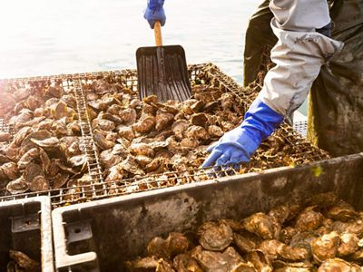 Close up of a person shoveling oysters from cages.