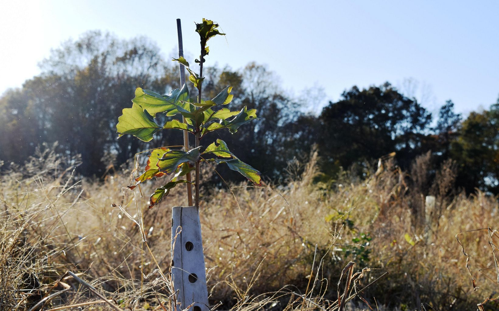 The green leaves of an oak sapling stick out above the top of a white projective tree tube.