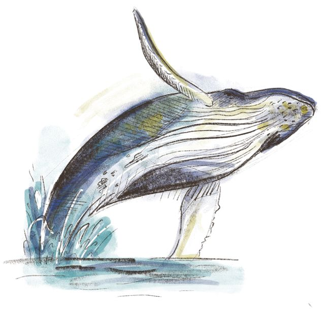 Drawing of a humpback whale.