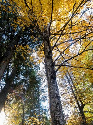View looking up into tall trees with yellow leaves.