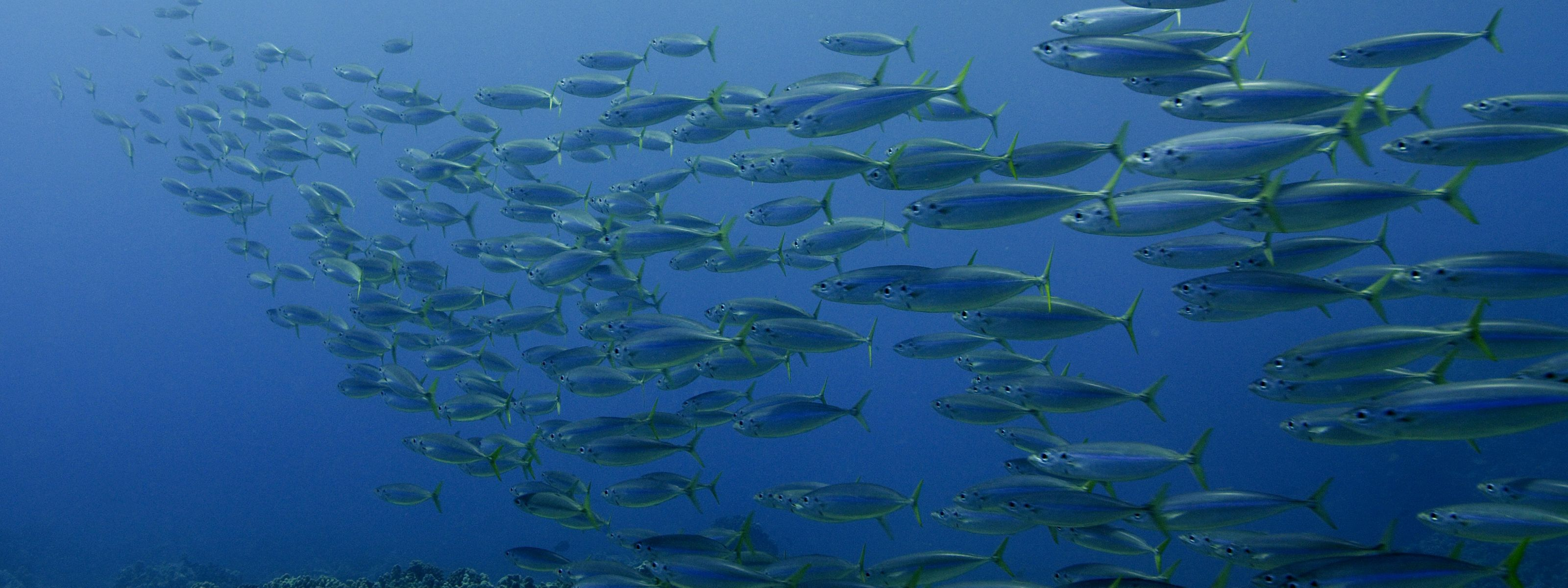 A school of opelu fish swimming in the waters of Hawaii.