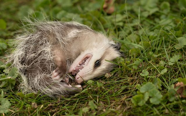 An opossum lying on its side playing dead in a grassy field.