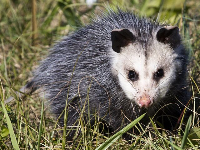 An adult opossum sitting in the grass, looking at the camera.