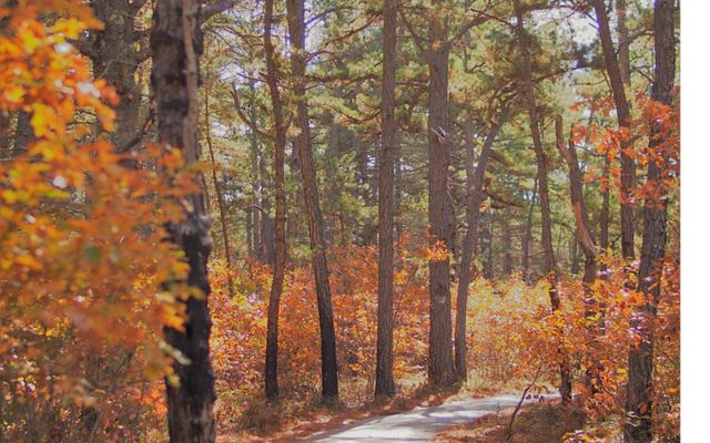 Scrub oak flames red and gold along the accessible trail in the Ossipee Pine Barrens.