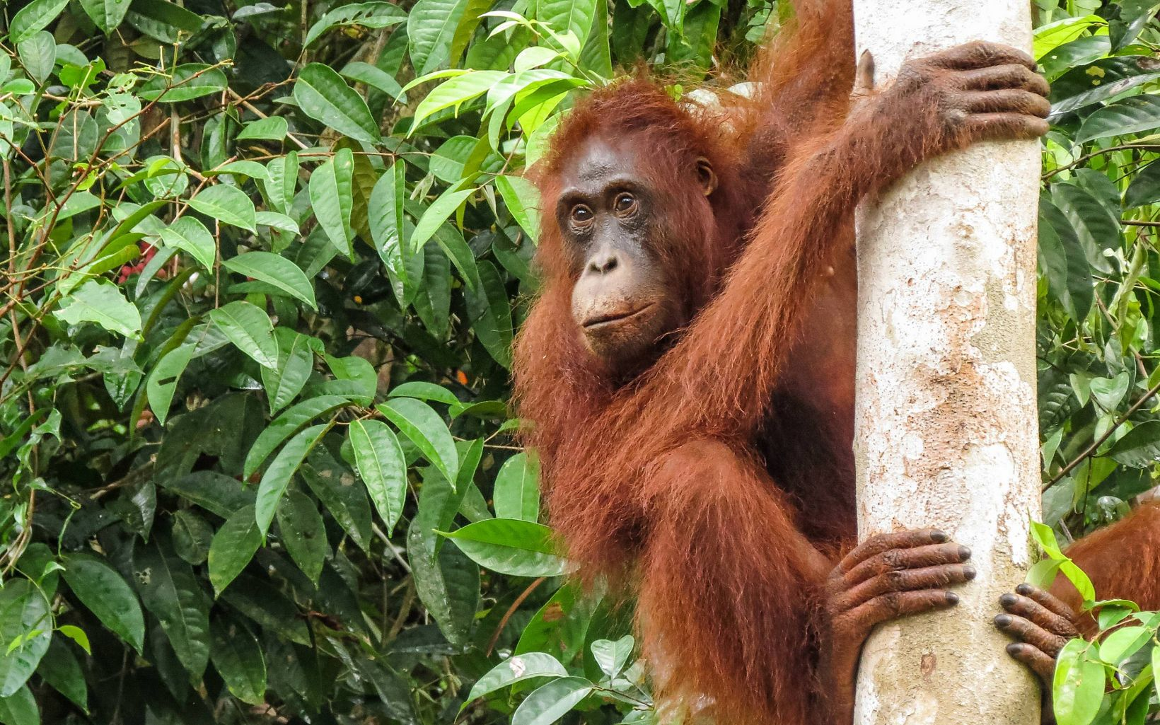 orangutan on a tree trunk