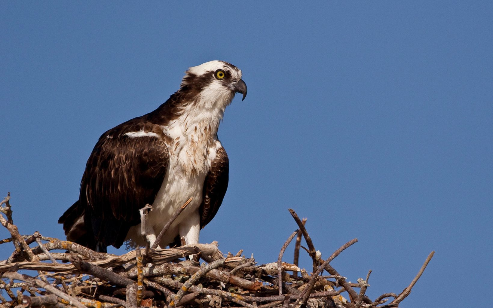 An osprey sits atop its nest at the Jack and Laura Dangermond Preserve