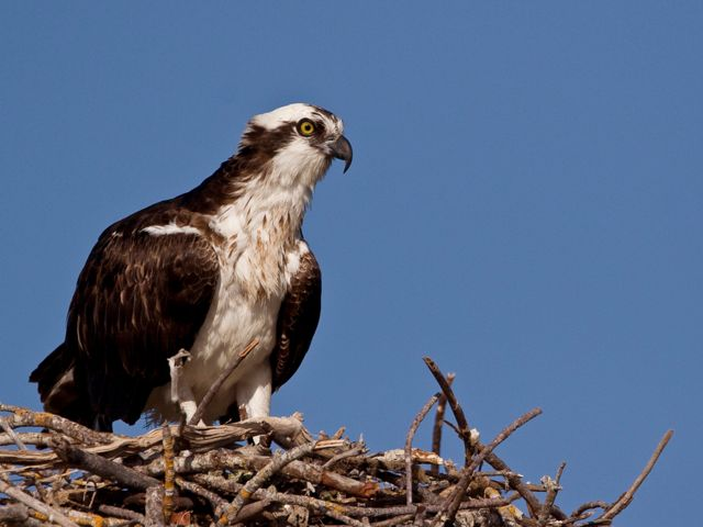 Osprey on nest of tree branches; brown on top and mostly grey on the head and underparts, with black eye patch and wings