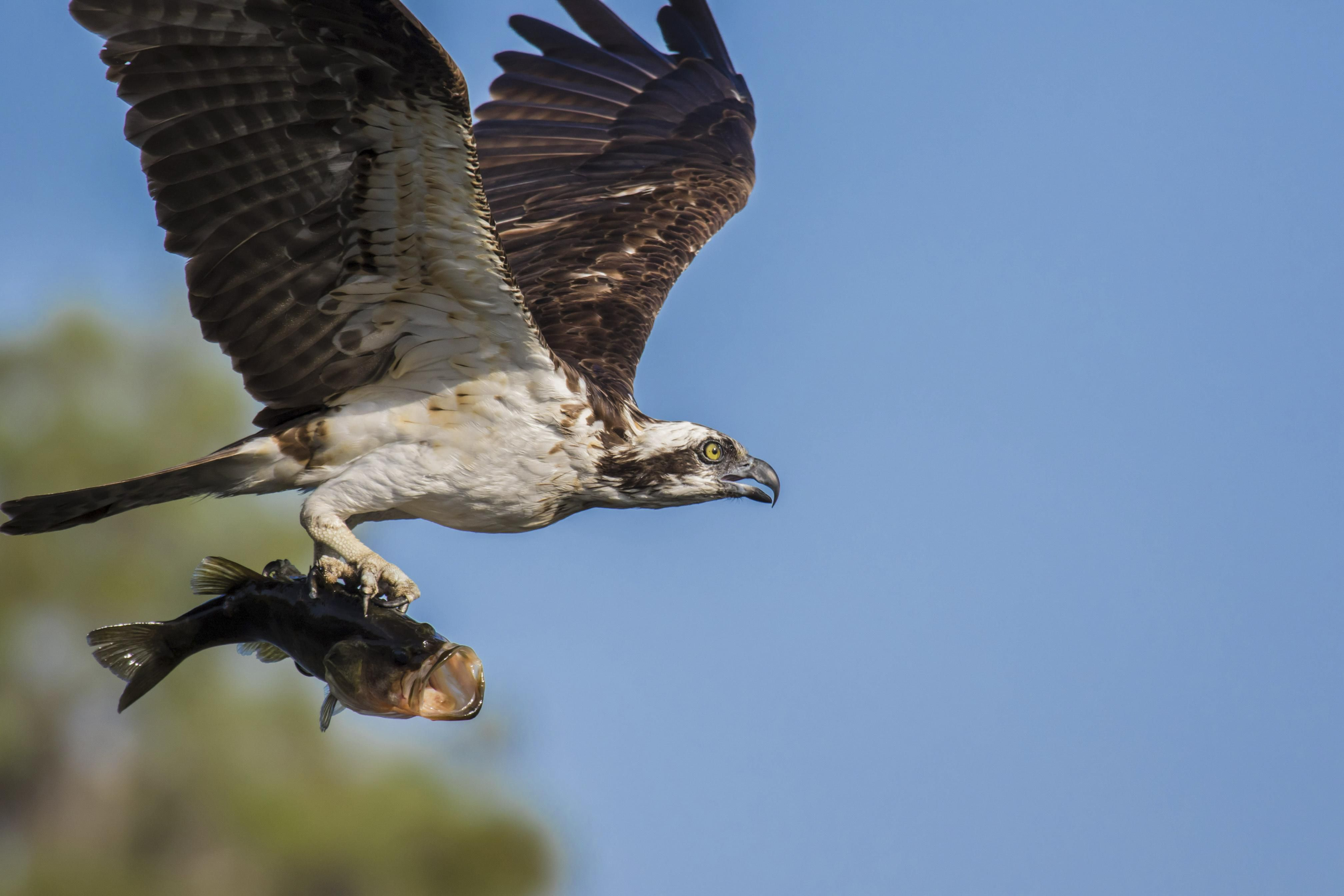 An osprey is flying while holding a fish.