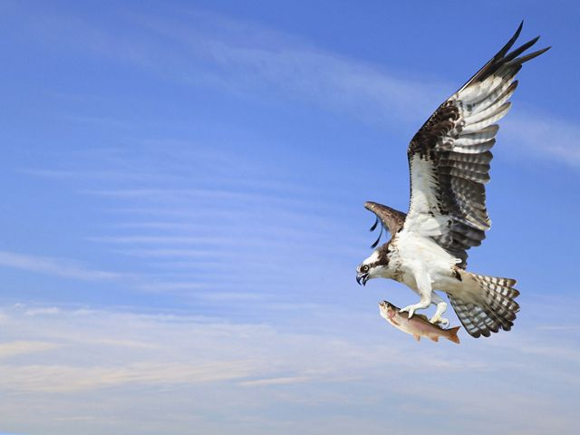 An osprey is flying with a fish in its talons.