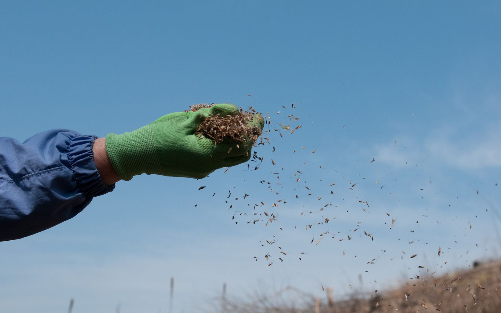 A fistful of prairie seeds beginning to scatter with the wind.
