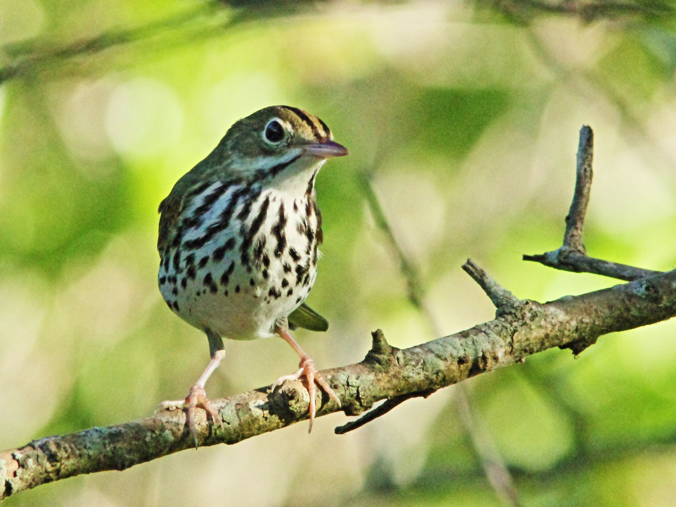 An ovenbird perched on a branch.