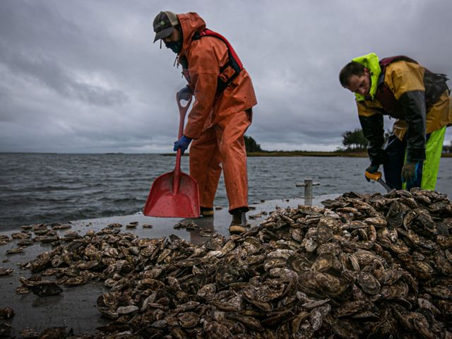 Workers shoveling oyster shells.