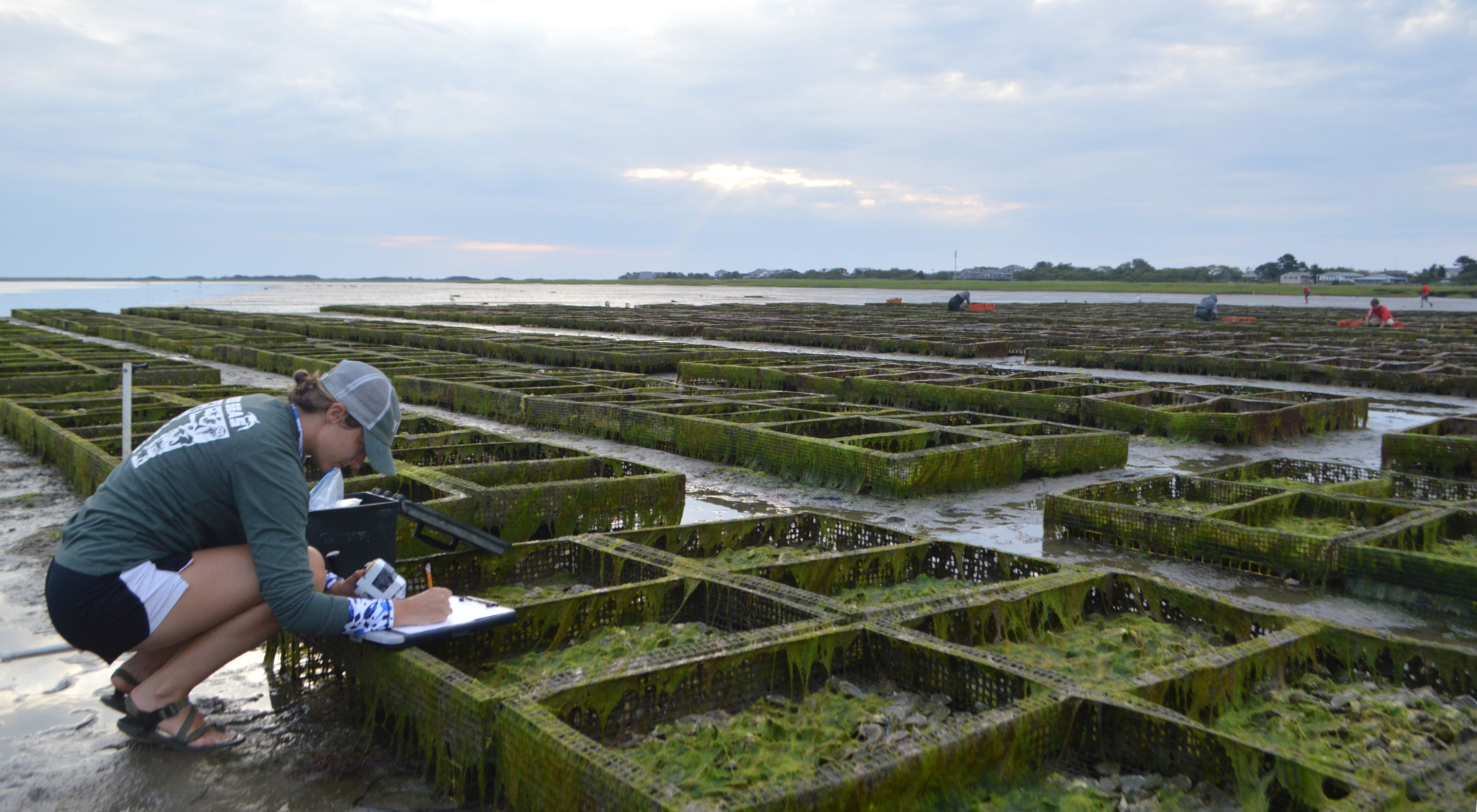 A researcher from Northeastern University begins to set up a GoPro to monitor oyster trays at Island Creek Oysters' Plymouth oyster farm.