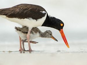 An American oystercatcher with a bright orange bill stands protectively over its chick.