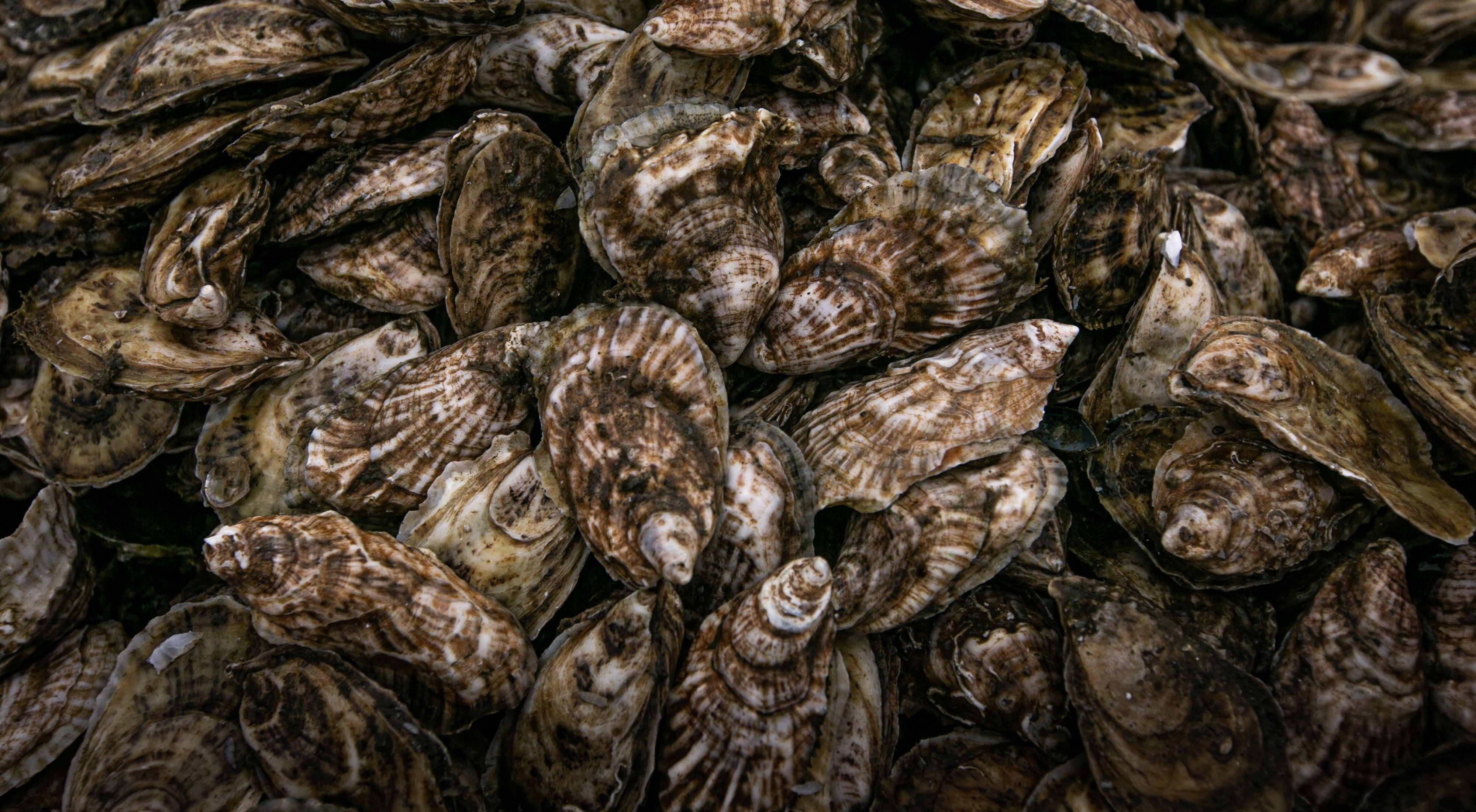 Closeup showing oysters filling the field of view.