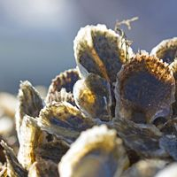 Oysters in the sun