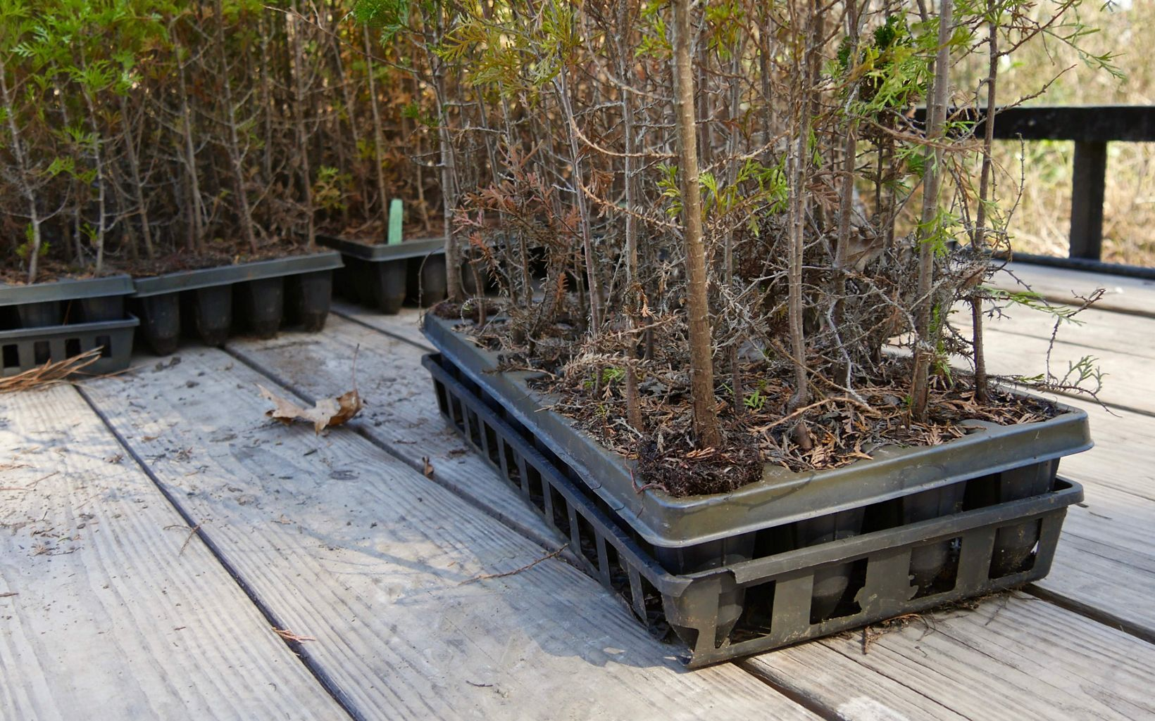 Since 2009, Worcester, Wicomico and Somerset County middle school students have planted more than 37,000 Atlantic white cedar seedlings at Nassawango Creek Preserve.