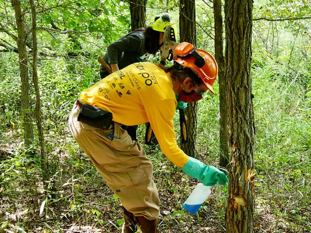 A student wearing an orange hardhat and black mask uses a plastic bottle to spray herbicide onto a locust tree.
