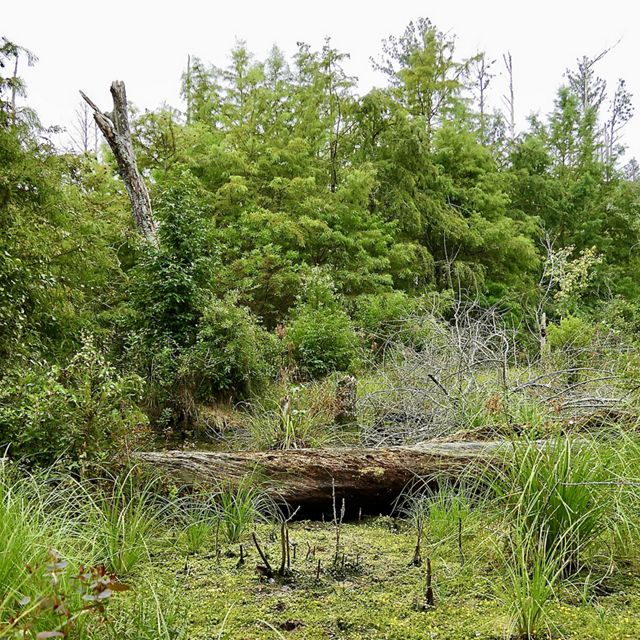 A forested area of the Great Cypress Swamp. A fallen log creates a physical and visual division between the open grassy area in the foreground and the low scrubby trees in the background.
