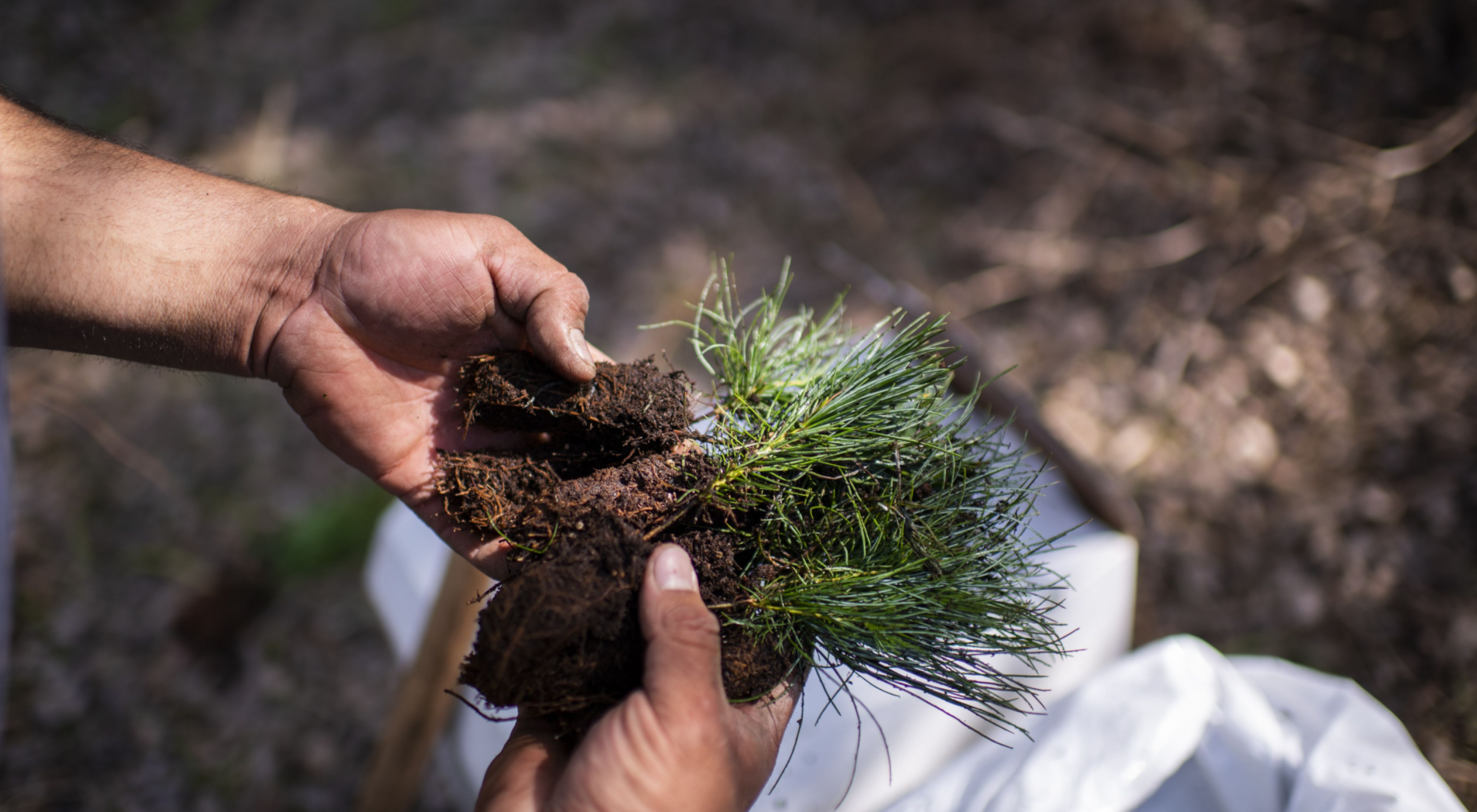Hands holding a sprouting tree in soil.