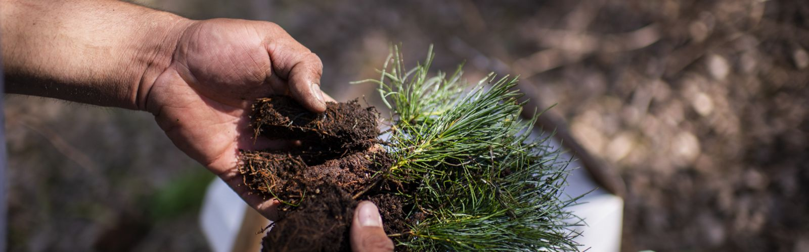 Two hands holding several pine seedlings, to be planted.