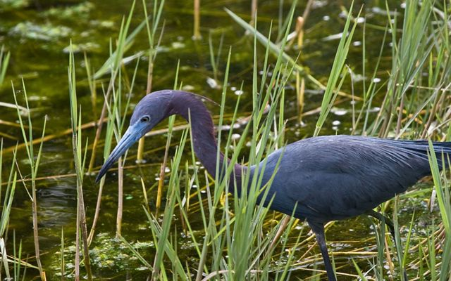 Little Blue Heron in Wetlands